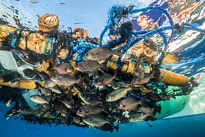 Fish sheltering below fish aggregating device. The rafts, which are illegal in many areas, are used in commercial fishery to attract larger species towards the sheltering fish. Cocos Island National P...  -  Nick Hawkins
