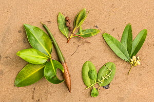 Leaves and fruits of four different Mangrove (Rhizophoraceae) species. San Cristobal Island, Galapagos. - Nick Hawkins