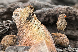 Small ground finch (Geospiza fuliginosa) standing on Marine iguana (Amblyrhynchus cristatus) leg. The finches feed on ectoparasites on iguanas. Isabela Island, Galapagos. - Nick Hawkins
