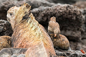 Small ground finch (Geospiza fuliginosa) feeding on ectoparasites whilst standing on Marine iguana (Amblyrhynchus cristatus) leg. Isabela Island, Galapagos. - Nick Hawkins