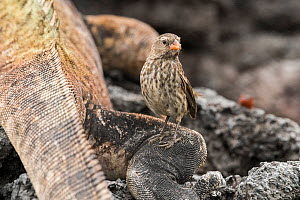 Small ground finch (Geospiza fuliginosa) standing on Marine iguana (Amblyrhynchus cristatus) leg. Finches feed on ectoparasites on iguanas. Isabela Island, Galapagos. - Nick Hawkins