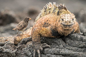 Small ground finch (Geospiza fuliginosa) feeding on ectoparasites found on Marine iguana (Amblyrhynchus cristatus). Isabela Island, Galapagos. - Nick Hawkins