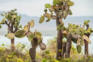 Galapagos prickly pear (Opuntia echios), a vulnerable species. Isabela Island, Galapagos. - Nick Hawkins
