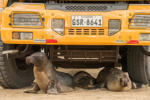 Galapagos sea lion (Zalophus wollebaeki), three resting underneath school bus. Isabela Island, Galapagos. 2017.  -  Nick Hawkins
