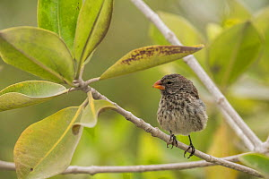Medium ground-finch (Geospiza fortis) perched in tree. Isabela Island, Galapagos. - Nick Hawkins
