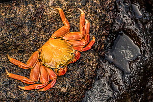 Sally lightfoot crab (Grapsus grapsus) clinging to a rock. Isabela Island, Galapagos. - Nick Hawkins