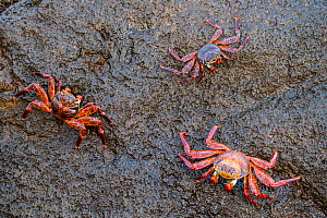 Sally lightfoot crab (Grapsus grapsus), three clinging to rock. Isabela Island, Galapagos. - Nick Hawkins