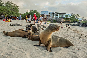 Galapagos sea lion (Zalophus wollebaeki) group on beach with tourists in background. San Cristobal Island, Galapagos. 2018. - Nick Hawkins