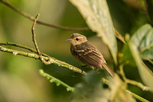 Cocos flycatcher (Nesotriccus ridgwayi) perched on branch, endemic species. Cocos Island National Park, Costa Rica.  -  Nick Hawkins