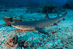 Whitetip reef shark (Triaenodon obesus) resting during daytime on sea floor. Near Cocos Island National Park, Costa Rica.  -  Nick Hawkins