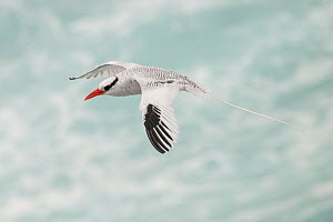 Red-billed tropicbird (Phaethon aethereus) in flight. San Cristobal Island, Galapagos. - Nick Hawkins