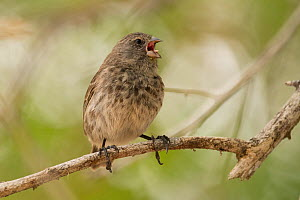 Small ground-finch (Geospiza fuliginosa) singing whilst perched on branch. Isabela Island, Galapagos. - Nick Hawkins