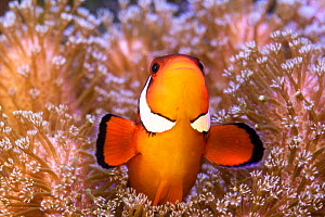 Clownfish (Amphiprion sp) in anemone home, Philippines. - Denis-Huot