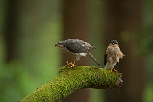 Sparrowhawk (Accipter nisus) male and female with chick prey, nuptial gift from male, in forest, Pays de Loire, France  -  Eric  Medard