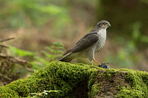Sparrowhawk (Accipter nisus) female with chick prey, nuptial gift from male, in forest, Pays de Loire, France  -  Eric  Medard