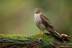 Sparrowhawk (Accipter nisus) female, in forest, Pays de Loire, France  -  Eric  Medard