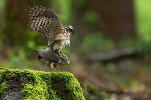 Sparrowhawk (Accipter nisus) pair mating, in forest, Pays de Loire, France  -  Eric  Medard