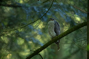 Sparrowhawk (Accipter nisus) female perched in tree, in forest, Pays de Loire, France  -  Eric  Medard