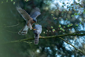 Sparrowhawk (Accipter nisus) male landing to mate with female, in forest, Pays de Loire, France  -  Eric  Medard