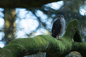 Sparrowhawk (Accipter nisus) female in tree, in forest, Pays de Loire, France  -  Eric  Medard