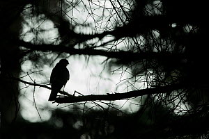 Sparrowhawk (Accipter nisus) silhouetted in tree, in forest, Pays de Loire, France  -  Eric  Medard