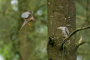Sparrowhawk (Accipter nisus) male flying to female, in forest, Pays de Loire, France  -  Eric  Medard