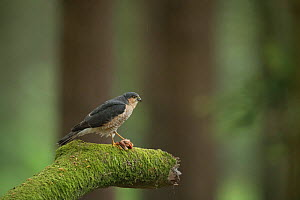 Sparrowhawk (Accipter nisus) male with dead chick as courtship gift for female, in forest, Pays de Loire, France  -  Eric  Medard