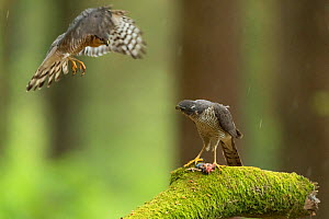 Sparrowhawk (Accipter nisus) male flying to female. Dead chick, a nuptial gift, at female's feet, in forest, Pays de Loire, France  -  Eric  Medard