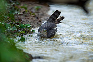 Sparrowhawk (Accipter nisus) bathing in stream, in forest, Pays de Loire, France  -  Eric  Medard