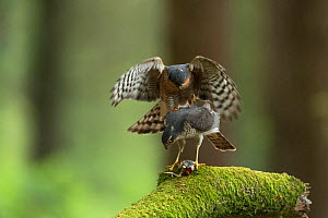 Sparrowhawk (Accipter nisus) pair mating, with dead chick, a nuptial gift, at female's feet, in forest, Pays de Loire, France  -  Eric  Medard