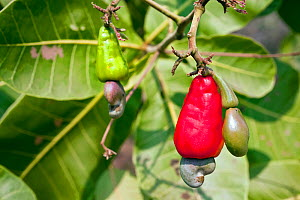 Cashew (Anacardium occidentale) fruits and nuts growing on tree. Cerrado, Goias, Brazil. - Angelo Gandolfi