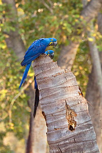 Hyacinth macaw (Anodorhynchus hyacinthinus) pair at nest in tree stump. Cerrado, Brazil. - Angelo Gandolfi