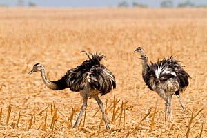 Greater rhea (Rhea americana), three feeding on agricultural land. Brazil.  -  Angelo Gandolfi