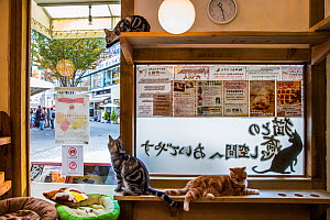 Cats sitting in window at Kawaramati Cat Cafe, Kyoto, Japan - Karine Aigner