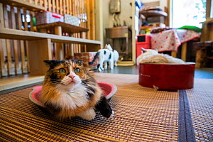 Calico cat resting at Kawaramati Cat Cafe, Kyoto, Japan - Karine Aigner