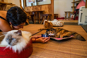 Woman taking pictures of calico cat at Kawaramati Cat Cafe, Kyoto, Japan - Karine Aigner