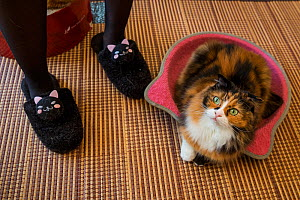 Calico cat at Kawaramati Cat Cafe, Kyoto, Japan - Karine Aigner