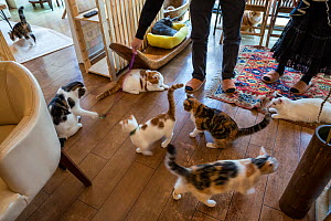 People playing with cats at Kawaramati Cat Cafe Kyoto, Japan. - Karine Aigner