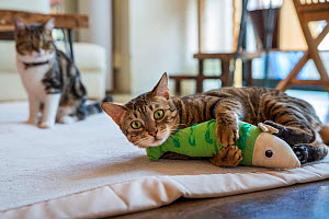 Tabby cat playing with fish toy at Kawaramati Cat Cafe Kyoto, Japan.  -  Karine Aigner