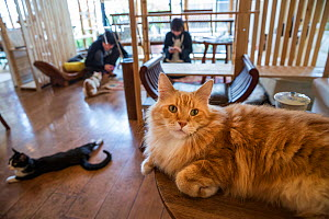 Fluffy ginger cat resting at Kawaramati Cat Cafe Kyoto, Japan - Karine Aigner