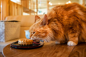 Ginger cat sniffing biscuit, Kawaramati Cat Cafe Kyoto, Japan. - Karine Aigner