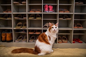 White and ginger cat sitting next to shoe rack, Kawaramati Cat Cafe Kyoto, Japan. - Karine Aigner