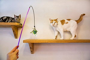 Person with lure playing with cats at the Kawaramati Cat Cafe, Kyoto, Japan - Karine Aigner
