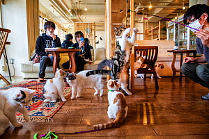 Japanese man playing with cats at the Kawaramati Cat Cafe Kyoto, Japan.  -  Karine Aigner