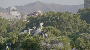 Slow motion wide angle shot of a Grey heron (Ardea cinerea) feeding chicks in an urban heronry, Barcelona, Spain, May.  -  David Perpinan