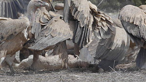 Group of Griffon vultures (Gyps fulvus) arriving and feeding on a dead lamb, Cuenca, Spain, August.  -  David Perpinan