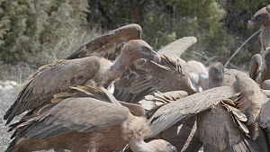 Group of Griffon vultures (Gyps fulvus) fighting to feed on a dead lamb. Cuenca, Spain, August.  -  David Perpinan