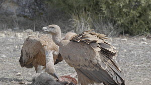Two Griffon vultures (Gyps fulvus) feeding on the remains of a dead lamb, Cuenca, Spain, August.  -  David Perpinan