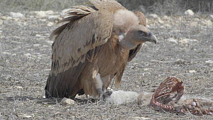 Griffon vulture (Gyps fulvus) feeding on a dead lamb, Cuenca, Spain, August.  -  David Perpinan