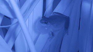 Male Mediterranean tree frog (Hyla meridionalis) calling, showing vocal sac inflating, Barcelona, Spain, May. Filmed at night with an infrared camera.  -  David Perpinan
